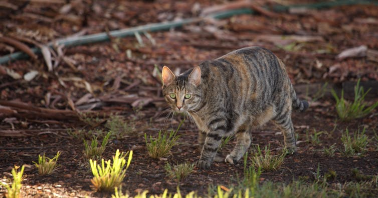 Fire-ravaged Kangaroo Island is teeming with feral cats. It's bad news for this little marsupial