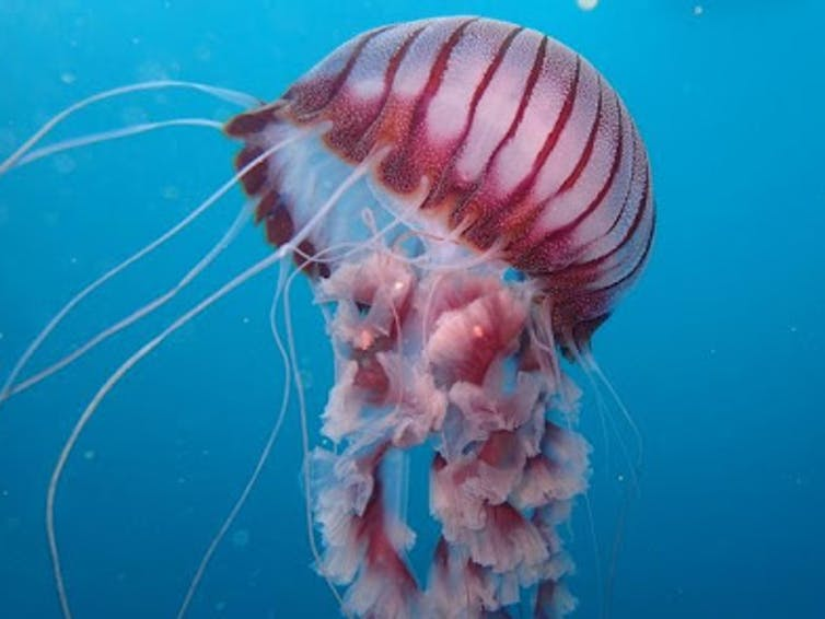 New Chrysaora jellyfish from the coast of South Africa. Photo: Peter Southwood