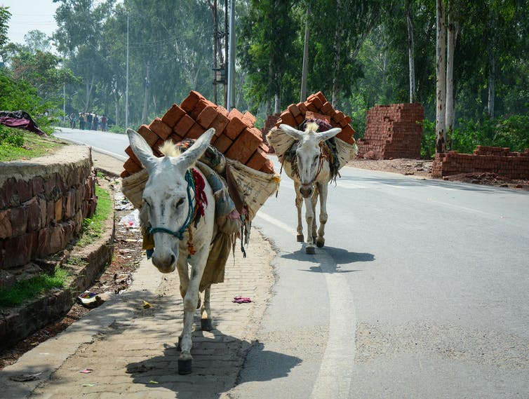 Two donkeys carry bricks on their backs