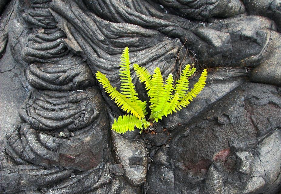 Green fern in black lava rock