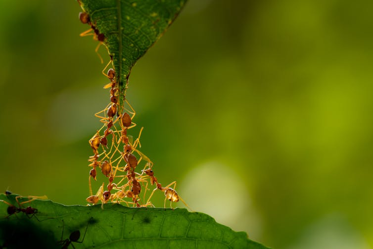Group of ants holding a leaf.