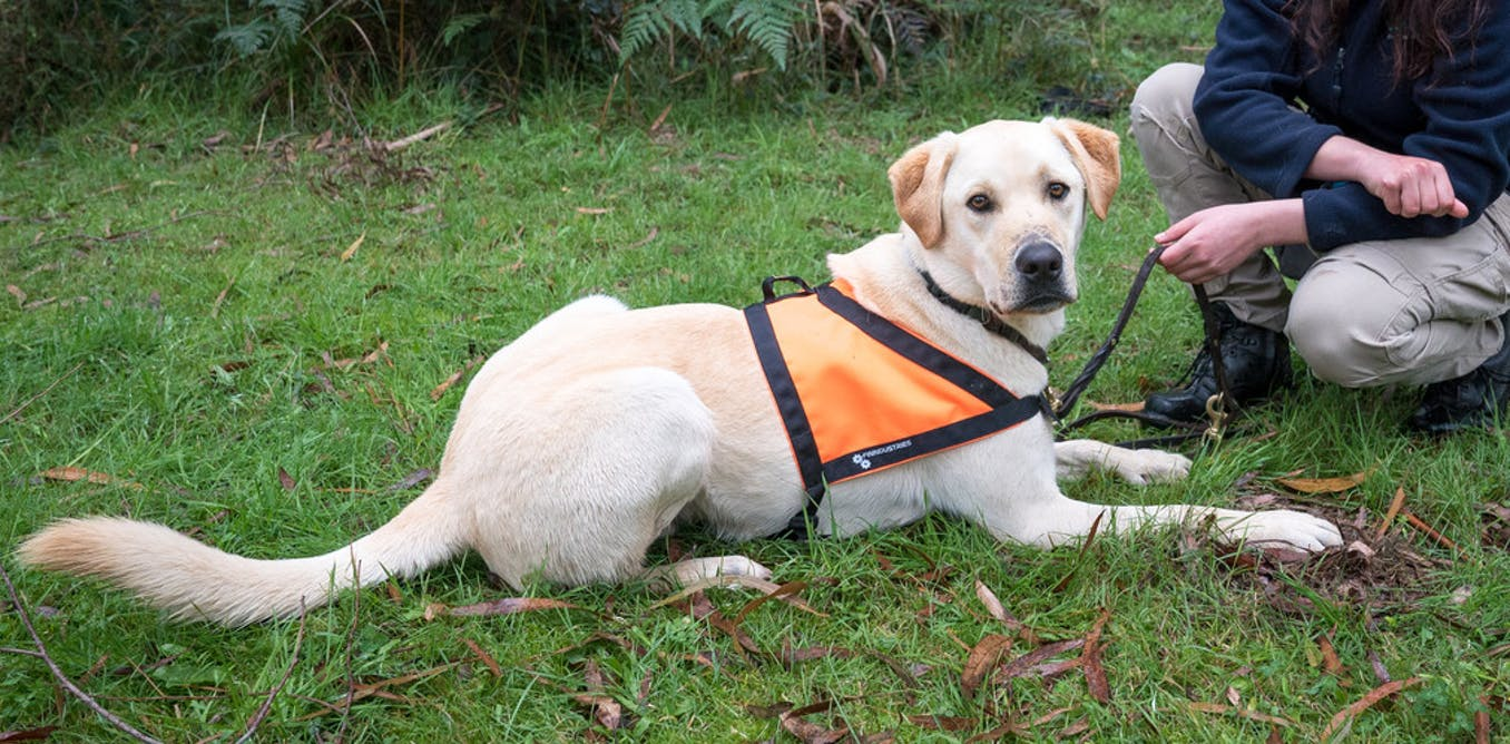 Meet Moss, the detection dog helping Tassie devils find love