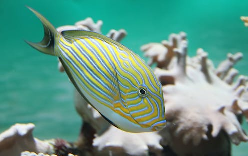 A surgeon fish with coral in background.
