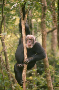 Cusano the chimpanzee clings to a branch