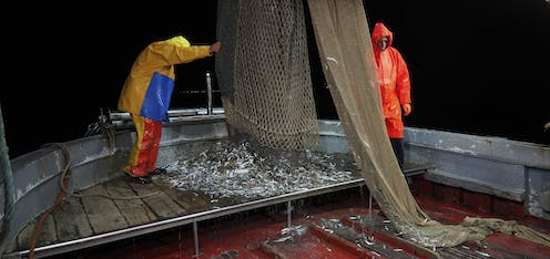 Two men in rain slickers stand on a trawler unloading small silver fish from nets onto the deck..