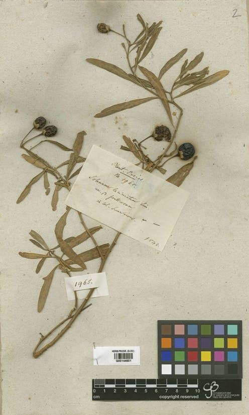 Dried plant with berries, with a label in German.