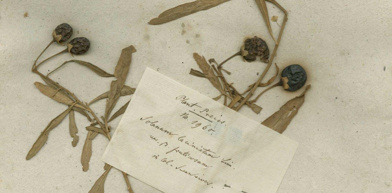 Friday essay: the forgotten German botanist who took 200,000 Australian plants to Europe