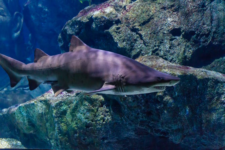 A tiger shark swims beside large rocks.
