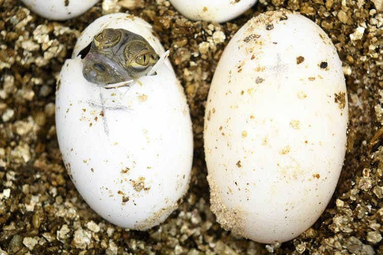 Baby crocodile emerging from egg.