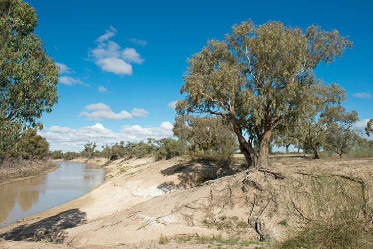 A shallow river cuts through brown land, beside a gum tree.
