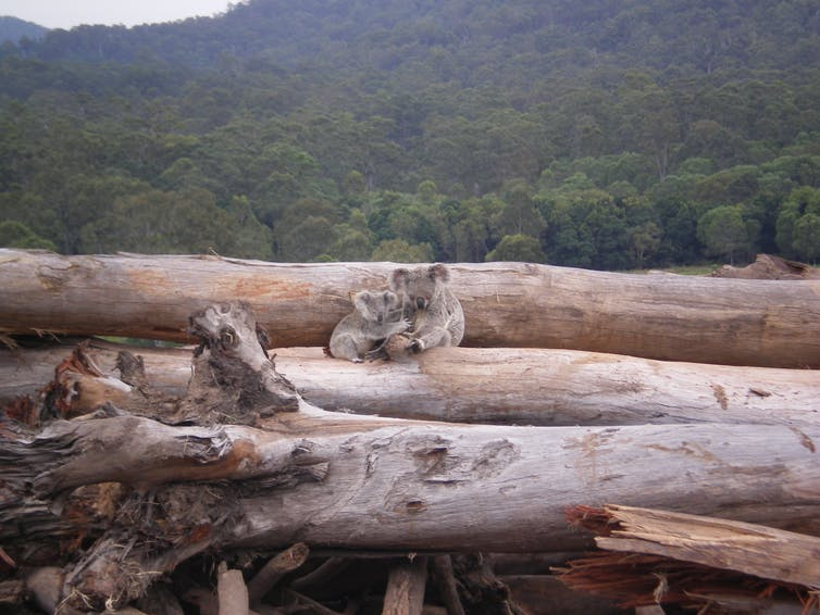 Adult and baby koala on a pile of felled trees.