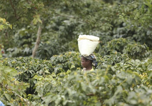A woman carries a container of coffee beans on her head, surrounded by trees and foliage.