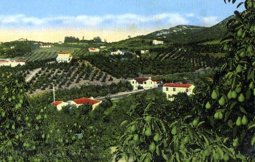 Lush avocado groves in Southern California.