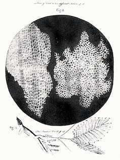 Hooke's famous etching of the tiny magnified cells he saw in a piece of cork. Robert Hooke, Micrographia, 1665/Wikimedia Commons, CC BY
