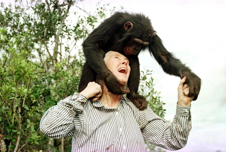Jane Goodall laughs and looks up at a baby chimp standing on her shoulders.