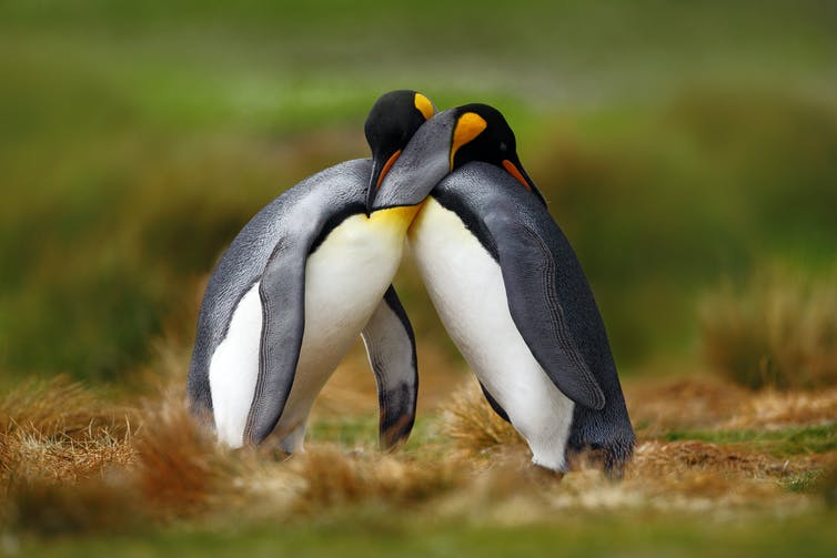 Pengiuns embracing each other.