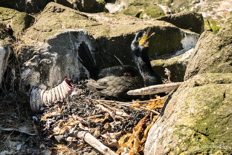A parent shag guards a nest containing plastic debris.