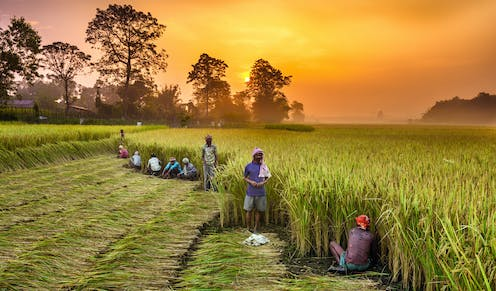 A line of people pull rice shoots from the ground in a large field