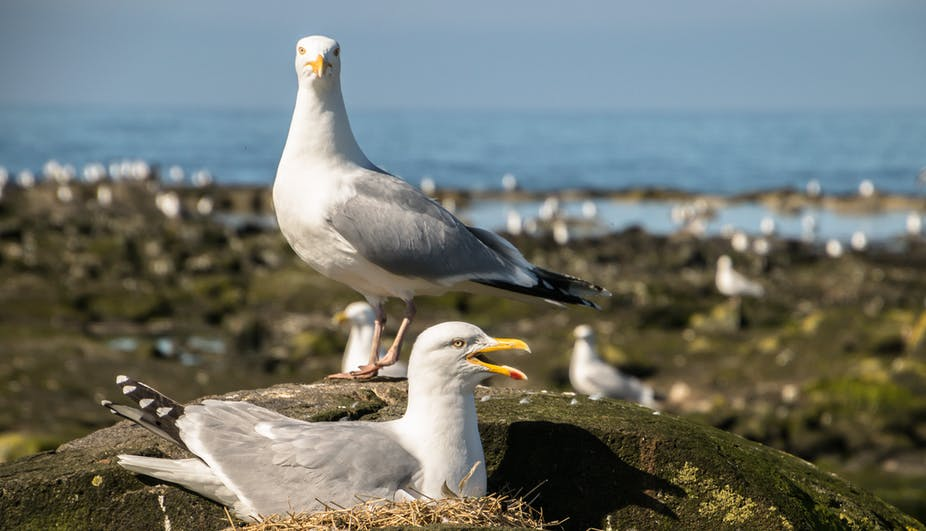 Two parent gulls guard their nest.