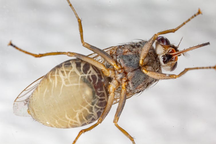 pregnant tsetse fly from below