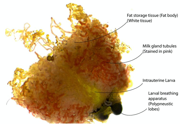 In utero larva with milk gland and fat storage tissues