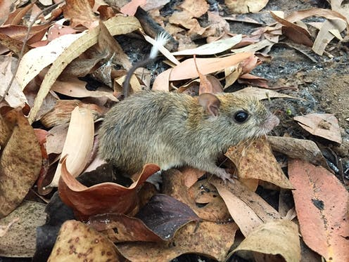 A brush-tailed rabbit-rat, which looks like a small rodent walks among leaf litter.