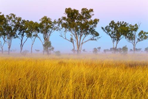 A field of Mitchell grass