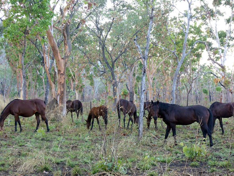Six dark coloured horses roam among sparse trees in the Top End.