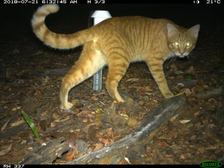 A striped, ginger cat with shining eyes looks at the camera at night.