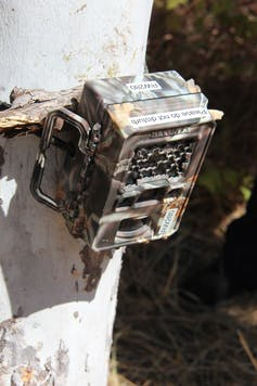 A brownish motion detection camera trap strapped to a tree.
