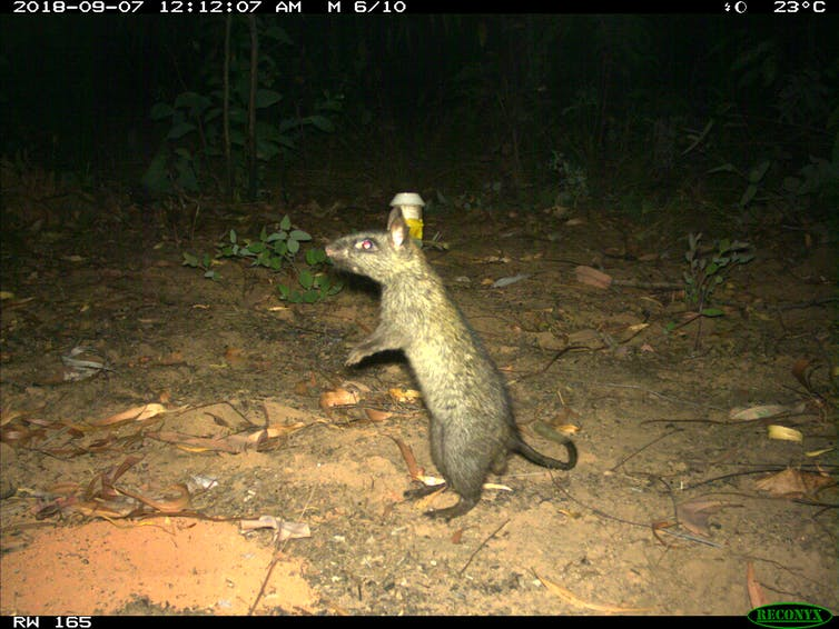A photo from a camera trap showing a black-footed tree-rat on its hind legs.