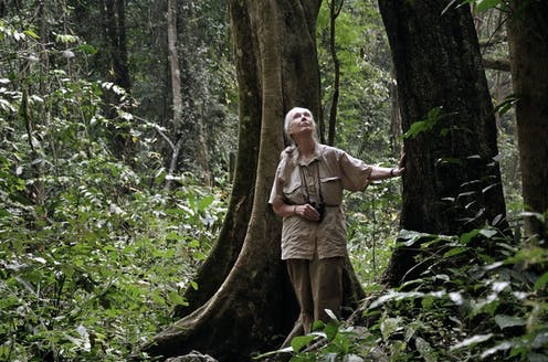 Dr Jane Goodall scans the tree tops for looking for chimpanzees in Gombe National Park.