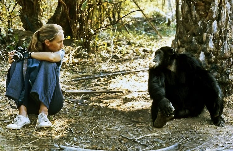 A young Jane Goodall and a chimpanzee, both seated, look at each other