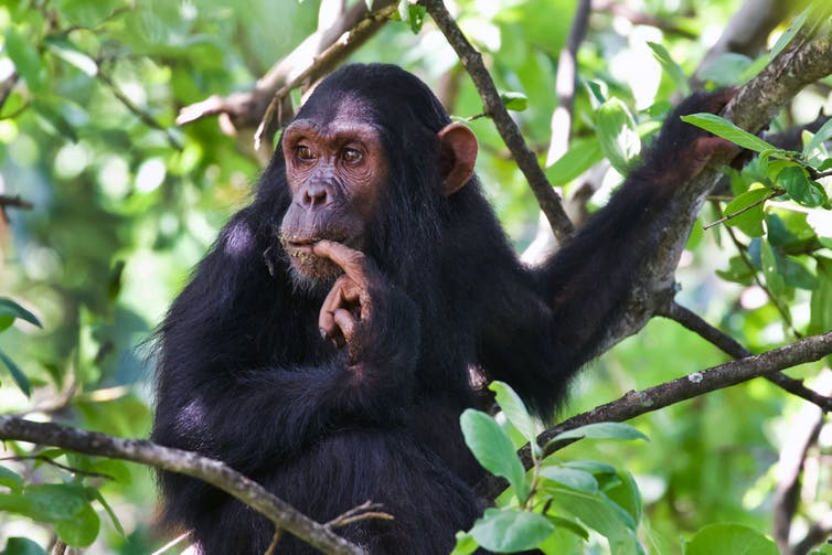 A chimpanzee sits on a branch, bites its finger and looks into the distance.