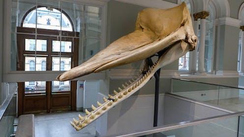 Sperm whale skull suspended in museum