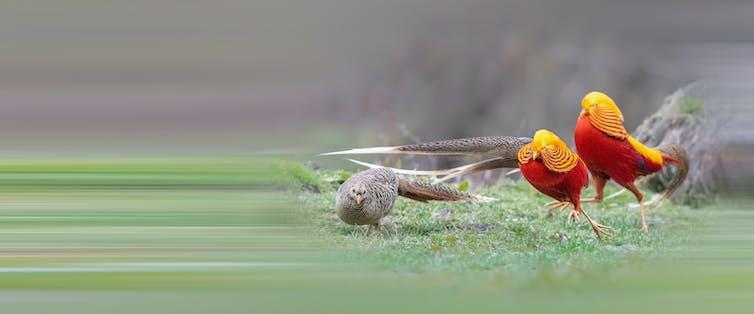 Dos faisanes dorados macho exhiben su llamativo plumaje rojo y amarillo ante una hembra (con discreto plumaje gris).