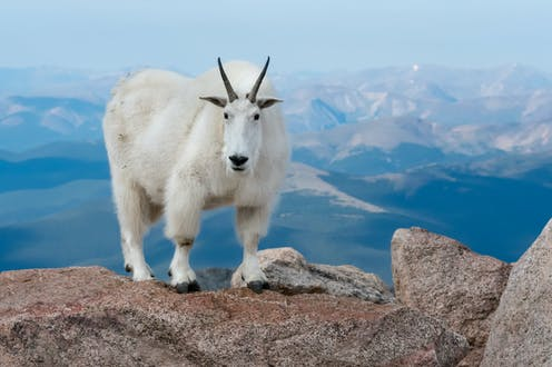 A large white mountain goat standing on a rock, against a mountainous background, stares into the camera.
