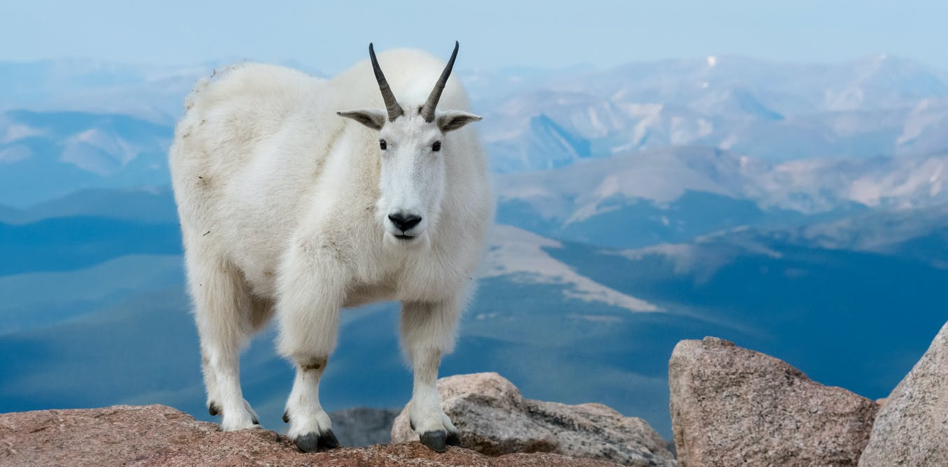 Studying the genome of mountain goats shows us how they adapted to their environment