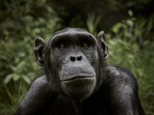 chimpanzee with forest background
