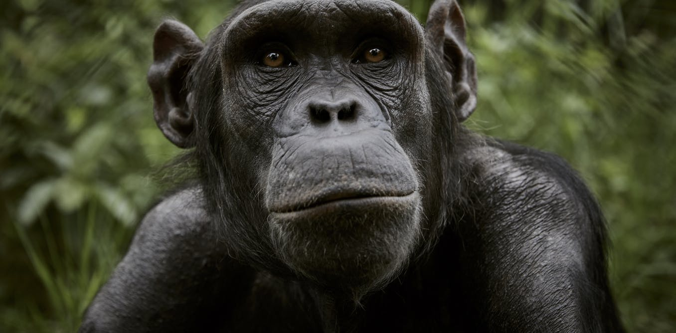 Chimpanzees once helped African rainforests recover from a major collapse