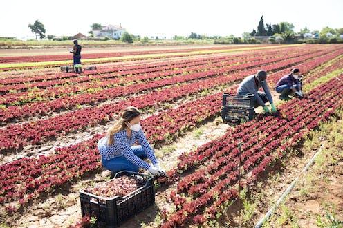 Trabajadores del campo con mascarilla recogen lechuga roja.