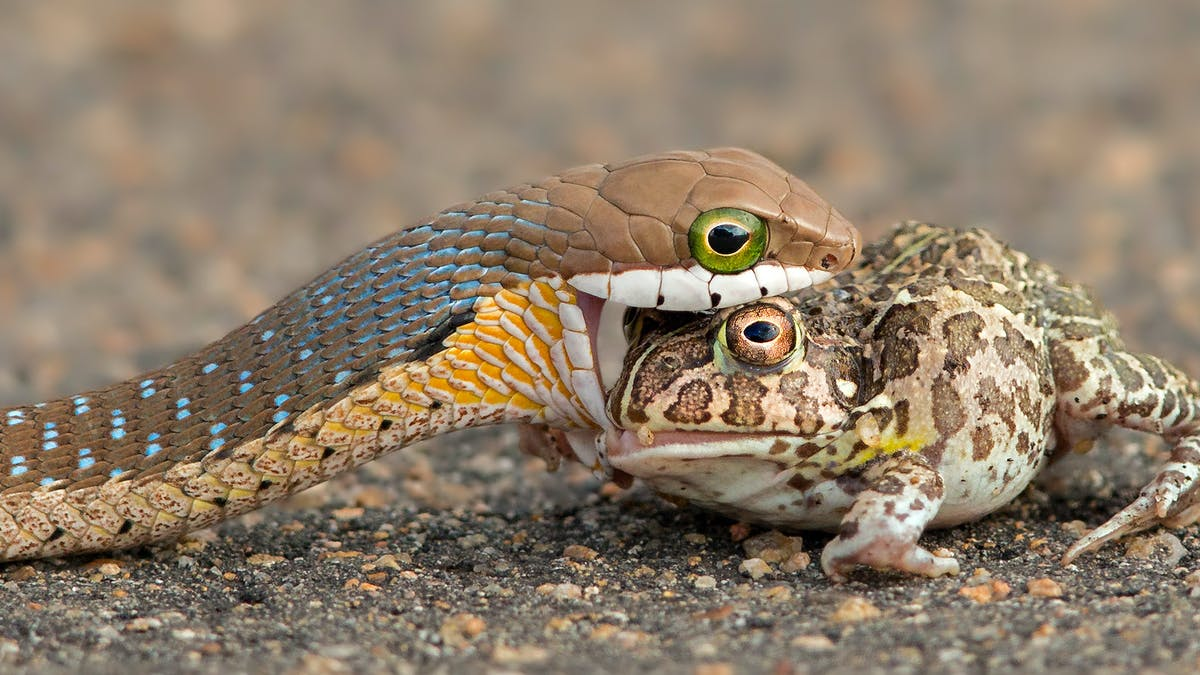 what is the boomslang snakes diet
