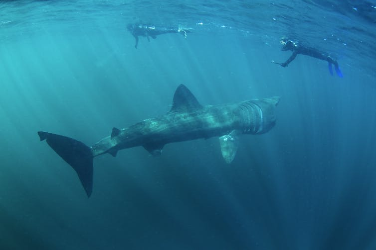 Basking shark and snorkellers