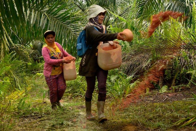 Buruh perempuan menabur pupuk di kebun sawit.