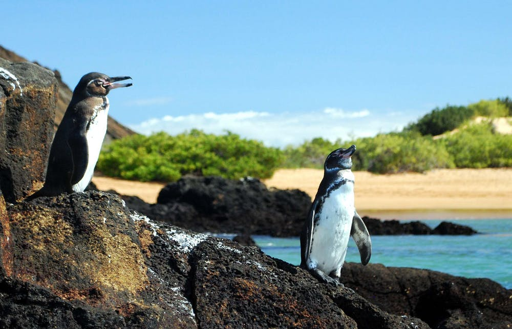 9d027eff5a7 Some like it hot  Galapagos penguins enjoy a tropical climate. ms akr
