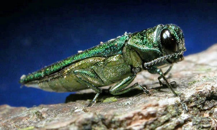 The emerald ash borer has a green sheen and is about half an inch long.