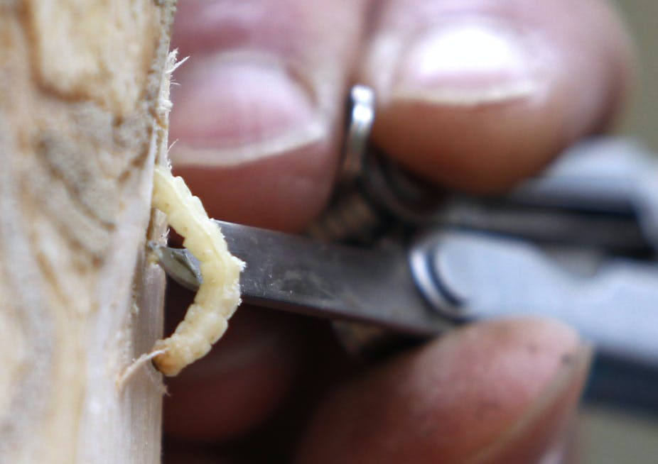 A man uses a knife to remove larvae from an infected ash tree.