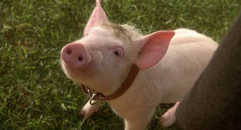 A piglet looks up at the camera