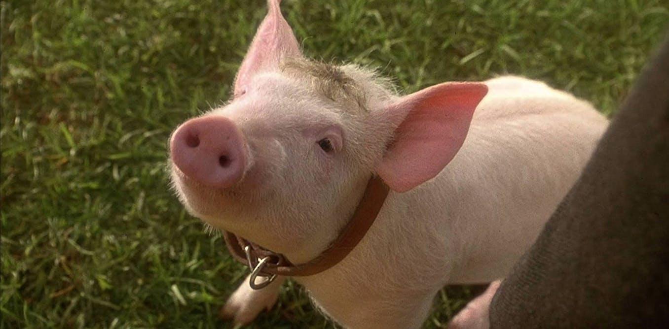 Thatll do, pig, thatll do: Babe at 25, a trailblazing cinematic classic