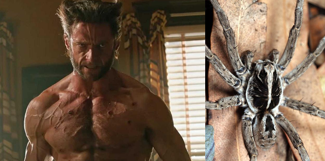 A photo of Hugh Jackman as Wolverine beside a photo of the spider named after him